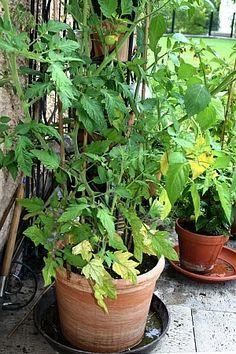 Nährstoffe für Pflanzen: Stickstoffmangel an Tomaten  http://www.tinto.de/tipps/nahrstoffe-fur-pflanzen-stickstoff/