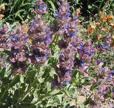 Salvia pachyphylla does well in a varieties of climates. Comes from the higher elevations near San Diego. It does well in Holden, Utah and Twin Falls and Meridian Idaho. Handles drought and freezing weather. Hanging Plants, Indoor Plants, Drought Tolerant Shrubs, California Native Garden, Meridian Idaho, Twin Falls, Salvia, Plant Design, Garden Landscaping