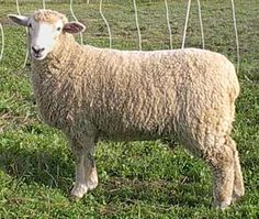 Sheep: Coopworth breed