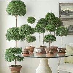 """✶ """" Topiaries, whether myrtle, boxwood or rosemary, make my heart sing. These beauties are the work of the Master, @loithai. ✶"""