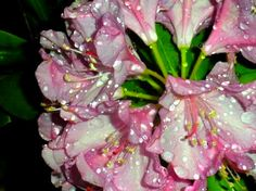 Rhododendron In my flower bed. Taken at night after watering.