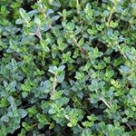 Growing Thyme Plants - The Growers Exchange Thyme Plant, Thyme Herb, Best Herbs To Grow, Growing Herbs, Fast Growing, Aromatic Herbs, Medicinal Herbs, The Growers Exchange, Grapevine Growing