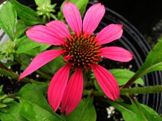 Echinacea  Wild Berry. As with other newer coneflower varieties, try to plant with the crown above garden level so they remain dry during wet times, spring thaw, etc.