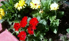 gerbera daisies in the sun