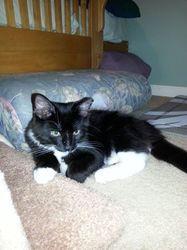 Adopt a Homeless Cat | Jean Paul (JP) | Domestic Long Hair | Furrever Friends Rescue, Woodbury, NJ