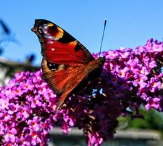 Electric colours. Butterfly on a flowering buddleia.  Taken with Sony Xperia Z1. Denmark