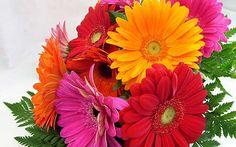 GUIA: Flor Gérbera: Como Plantar, Adubar, Cuidar, Regar