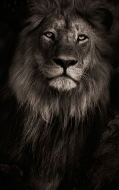 iPhone X Wallpaper Screensaver Hintergrund 006 Lion Ultra HD 1 - Dies und d. Lion Wallpaper Iphone, Cat Wallpaper, Animal Wallpaper, Iphone Wallpapers, Hd Backgrounds, Wallpaper Awesome, Mobile Wallpaper, Lion Images, Lion Pictures