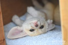 I've been told this is a Fennec Fox - I don't much care what it is, it is CUTE Cute Baby Animals, Animals And Pets, Strange Animals, Fennec Fox Baby, Dog Station, Wolf Hybrid, Wild Animals Photos, Pet Fox, Animal Magic