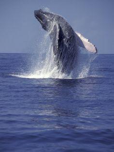 Humpback Whale Breaching in Alaska
