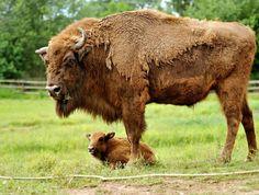 Jeune bison d'Europe allongé sous sa mère au zoo Pilsen (République tchèque).