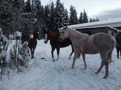 My quarter horses