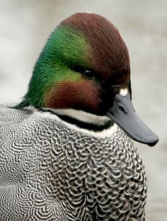 Falcated Teal male  #duck #hunting #waterfowl #1816 #remington