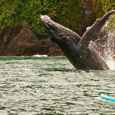 Plan Avistamiento de Ballenas - Bahía Solano Plan Nacional, Whale, Animals, Whale Watching, Travel Agency, Whales, Animales, Animaux, Animal