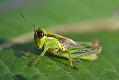 Tillman grasshopper