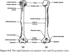 in anatomy  the scapula  plural scapulae or scapulas  or