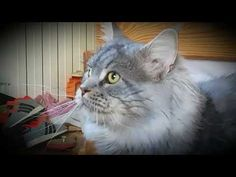 YouTube Maine Coon, Youtube, Animals, Cat Breeds, Animales, Animaux, Animal, Animais, Youtubers