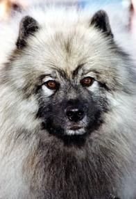 Keeshond Im just in love with this dog :)