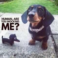 Noooo.... . @richmondthedash Tag a Dog Lover  <3 #Wiener #doxie #dachshunds #dachshundlover #loveDachshunds #DachLife #DachLover #pet #dog #puppy #ButuanDachshunds #ButuanDoxies #Butuan #Philippines #BuzzfeedAnimals #DogsOfPinterest