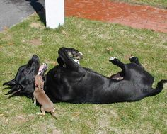 150 Pound Great Dane at play with his Chihuahua friend.
