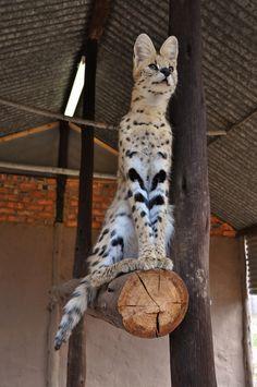 lotsofwildthings:    Serval. (by globetrottingmatt)