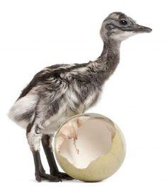 Filhote de nandu-de-Darwin