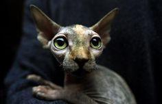 Royalty (sphynx cat,cute,cat,eyes,big eyes)