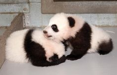 Meet Mei Lun and Mei Huan.