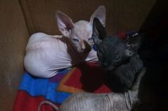 #sphynx#kitten#available#forsale#CA#9516986615#tica#bald#sweet#healthy