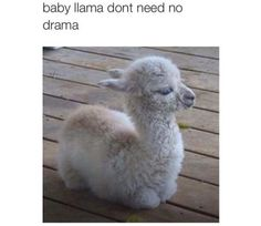 I'm so obsessed with llamas ,this is not ok.