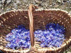 Fleurs de Bourrache cristallisées Garden Plants, Vegetable Garden, Permaculture, Herbalism, Floral, Flowers, Desserts, Liqueurs, Sorbets