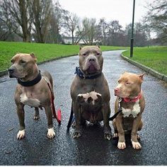 Pitbulls funny -- Click visit link for more info Big Dogs, I Love Dogs, Dogs And Puppies, Wolf Puppies, Doggies, Animals And Pets, Funny Animals, Cute Animals, Pitbull Terrier