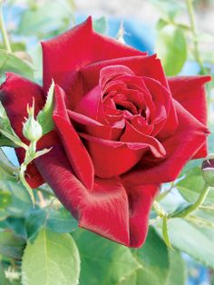 City Of Windsor...also known as City of Roses....... HT City of Windsor     Size: BR, HT    Deep crimson-red buds open to beautiful deep red blooms on this vigorous upright plant. Excellent disease resistance.    Height & Habit: 4.5 / upright  Fragrance: sweet, strong  Bloom Color: Dark Red