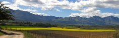 Beautiful Bonnievale - Canola field between the vineyards