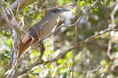 Great Lizard-Cuckoo (Coccyzus merlini)