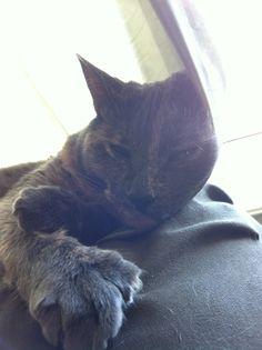 Zoey  Cat | Pawshake Winnipeg
