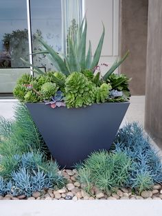 an agave underplanted with green aeoniums + blue echeverias, with blue + green senecios in the bed below .