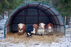 View top-quality stock photos of Cows In Shelter At Winter. Find premium, high-resolution stock photography at Getty Images. Cattle Farming, Livestock, Farm Life, Farm House, Raising Cattle, Mini Cows, Cow Photos, Future Farms, Land