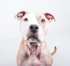 8 18 16. Petango.com – Meet Chika, a 2 years 1 month Terrier, American Pit Bull / Mix available for adoption in DECATUR, GA