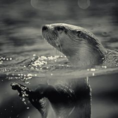 North American river otter showing off at the Kansas City zoo, Kansas City, Mo. The Illusionist River Otter, Sea Otter, River Drawing, Kansas City Zoo, Amazing Animal Pictures, The Illusionist, Otter Love, Otters, Cute Baby Animals