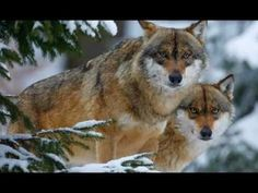 Winter Wolves Among the Pines. Wolf Photos, Wolf Pictures, Animal Pictures, Beautiful Creatures, Animals Beautiful, Cute Animals, Crazy Animals, Animal Fun, Wild Animals
