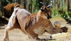 Learn about big cats at Panthera Africa, a sanctuary with lions, tigers, leopard and caracal. Enrichment Programs, Caracal, Local Attractions, Team Building, Big Cats, Tigers, Lions, Africa, Lion