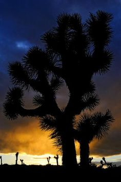 size: Photographic Print: Silhouettte Of Joshua Tree (Yucca Brevifolia) At Sunset, Joshua Tree National Park, Mojave Desert by Jouan Rius : Desert Art, Desert Sunset, Visit California, California Travel, Joshua Tree National Park, National Parks, Mojave Desert, Teaching Art, Photography Photos