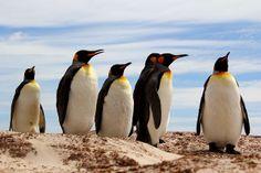 "Video Falkland Inseln: ""King Penguin Colony"""