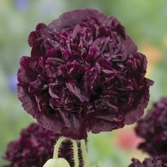 Vallmo Black Beauty