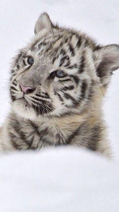 Snow Tiger Cub > actually a part albino Tiger cub. There are NO snow tigers, though, there are SNOW Leopards. Big Cats, Cats And Kittens, Cute Cats, Beautiful Cats, Animals Beautiful, Cute Baby Animals, Animals And Pets, Wild Animals, Snow Tiger