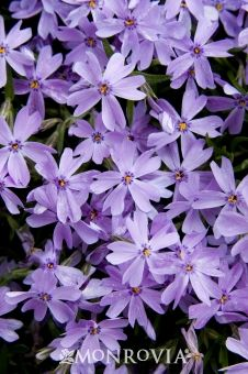 Emerald Blue Creeping Phlox - Monrovia - Emerald Blue Creeping Phlox