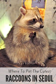 Raccoon Cafe Seoul | Linda Goes East