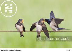 Barn Swallow (Hirundo rustica) feeding chicks on electric cattle fence