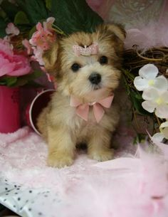 Some of the Tiniest, Most Beautiful Teacup Yorkie Puppies in the World! Teacup Yorkie and Small Toy Yorkies for Sale. Tiny Puppies, Cute Dogs And Puppies, Little Puppies, Little Dogs, I Love Dogs, Doggies, Poodle Puppies, Teacup Yorkie For Sale, Yorkies For Sale